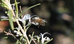 Miel de flores de romero